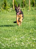 German Shepherd puppy running Stock Photo