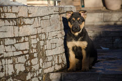 German shepherd puppy sits in the yard Royalty Free Stock Photos