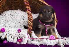 German shepherd puppy sitting in a basket. White lace veil. Purple background. Royalty Free Stock Image