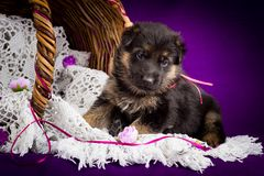 German shepherd puppy sitting in a basket. White lace veil. Purple background. Stock Photos