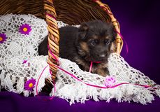 German shepherd puppy sitting in a basket. White lace veil. Purple background. Royalty Free Stock Photography