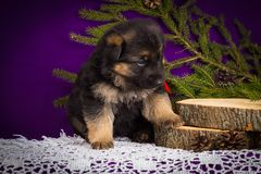 German Shepherd puppy sitting with fir branches on a purple background. Stock Images