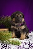 German Shepherd puppy sitting with fir branches on a purple background. Royalty Free Stock Images