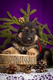 German Shepherd puppy sitting with fir branches on a purple background. Stock Photos