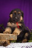German Shepherd puppy sitting with fir branches on a purple background. Stock Photo