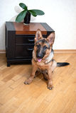 German Shepherd puppy sitting in front of floor Stock Photo