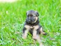 German shepherd puppy sitting on green grass royalty free stock photography