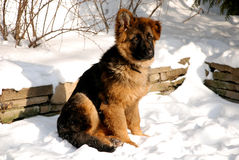 German Shepherd puppy on the snow. Cute fluffy German Shepherd puppy, 5 months old, sitting on the snow stock images
