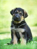 German shepherd puppy with tilted head Royalty Free Stock Photos