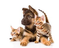 German shepherd puppy and two bengal kittens looking away. isola Stock Image
