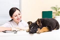 German Shepherd puppy and vet Royalty Free Stock Photos