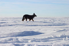 German Shepherd puppy walking. On the Gulf in the winter Stock Photos