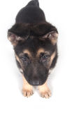 German Shepherd puppy on white Royalty Free Stock Photos