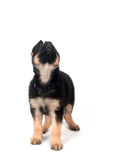 German Shepherd puppy on white Stock Images