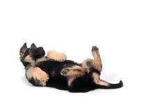 German Shepherd puppy on white Royalty Free Stock Photography