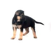 German Shepherd puppy on white Stock Photo