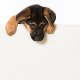 German shepherd puppy Royalty Free Stock Photos