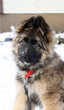 German shepherd puppy Stock Photos