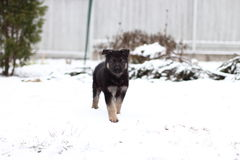 German shepherd puppy. In winter with snow Royalty Free Stock Photo