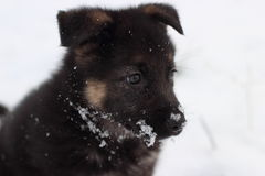 German shepherd puppy. In winter with snow Royalty Free Stock Photography
