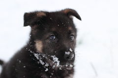 German shepherd puppy. In winter with snow Stock Image