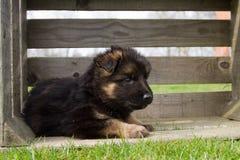 German shepherd puppy in wooden box. German shepherd puppy in a wooden box Stock Image
