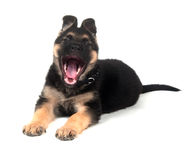 German Shepherd puppy yawning on white Royalty Free Stock Images