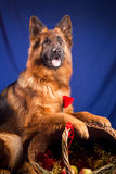 German shepherd put his paws on a wicker basket. Blue background. Royalty Free Stock Photo