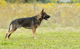German Shepherd in the rack. The beautiful dog of a German shepherd is standing in a classic pedigree, on the green grass, against the background of yellow Stock Image