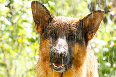 German shepherd in the rain. Beautiful German shepherd in the rain Royalty Free Stock Photo