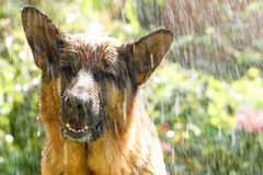 German shepherd in the rain. Beautiful German shepherd in the rain Stock Images
