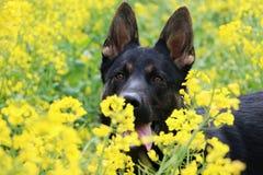 Black german shepherd head portrait in a rape seed field royalty free stock photo