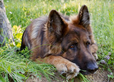 German shepherd relaxes in a field Royalty Free Stock Photos