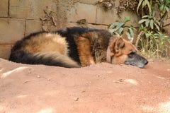 German shepherd resting Stock Photography