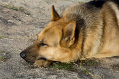 German Shepherd resting relaxed Royalty Free Stock Photography