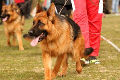 German Shepherd in the ring Stock Images