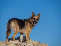 German shepherd on the rocks stock photo