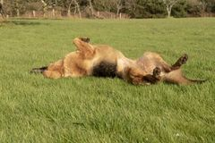 German Shepherd rolling on grass. In summer royalty free stock images