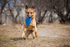 German shepherd run with disc Stock Photography