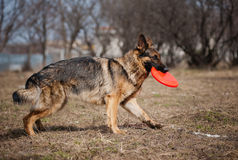 German shepherd run with disc Stock Images