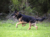 German shepherd run free on meadow Royalty Free Stock Photo