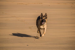 German shepherd running Royalty Free Stock Photography