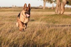 German Shepherd. Running on the field at sunset Stock Photography