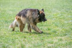 German Shepherd Running Through the Grass. Selective focus on the dog Royalty Free Stock Photography