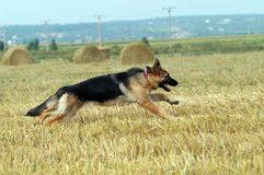 German Shepherd. Running on stubble stock image