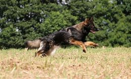 Running german shepherd on a field. German shepherd is running on a stubble field Stock Images