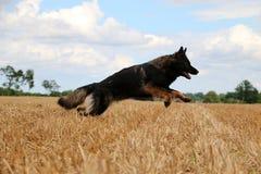 Running german shepherd on a field. German shepherd is running on a stubble field Stock Photography