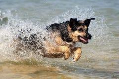 German Shepherd running through water Royalty Free Stock Photography