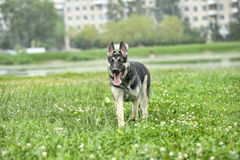 German Shepherd runs Stock Photo
