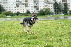 German Shepherd runs Royalty Free Stock Photos